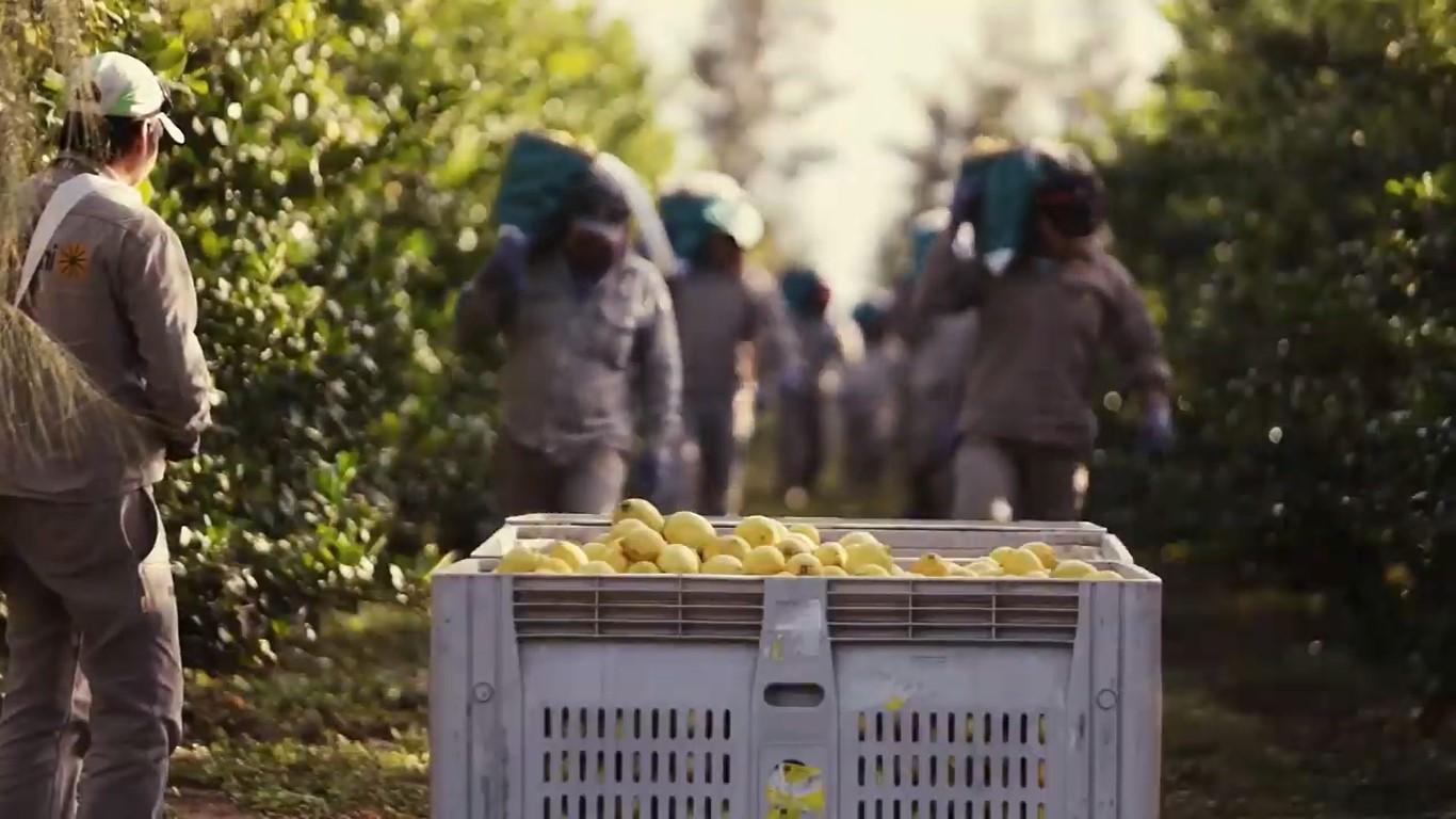 Por cada kilo de limón exportado las empresas reciben 85 pesos y pagan 1 peso al cosechero