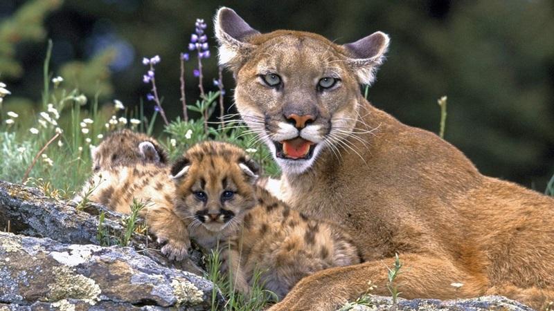 Pumas del Parque Nacional Iguazú: se filtró el documento ...