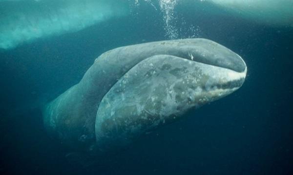"""La ballena franca boreal, """"prima"""" norteña de la austral, está virtualmente extinta. Foto: Anipedia"""