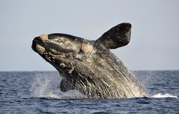La ballena franca austral es el ejemplar más característico del mar argentino. Foto: Reuters