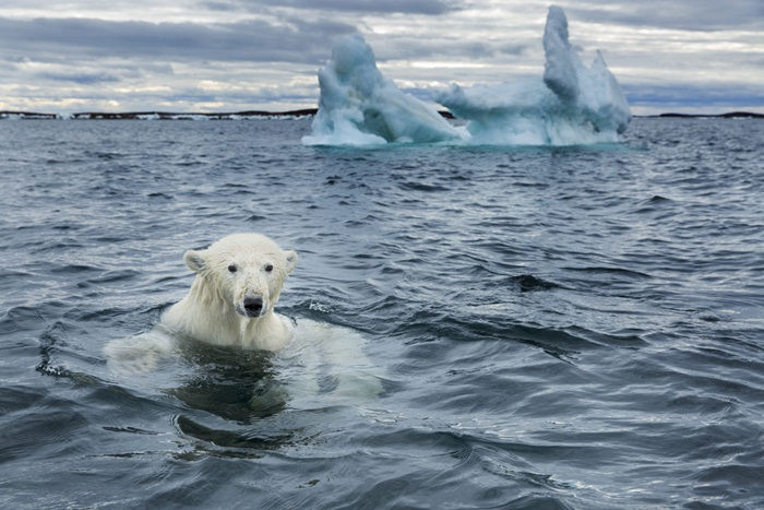 Oso polar en Repulse Bay, Nunavut, Canadá | Foto: Paul Souders (Getty Images)